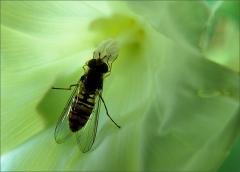 Schwebfliege in einer Blume