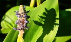 Teichpflanze mit Schatten