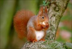 Eichhörnchen im Januar