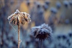 Vertrocknete Blüte mit Raureif
