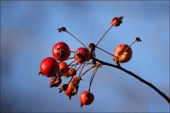Zweig mit kleinen Früchten im Januar