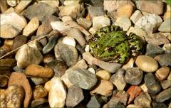 Frosch auf Kieselsteinen