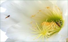 Gro�e Kaktusbl�te und Schwebfliege