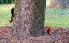 Zwei Eichhörnchen im Januar