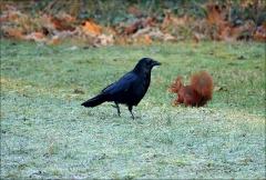 Rabe und Eichhörnchen (2)