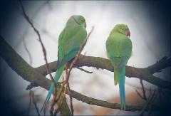 Zwei Papageien im kalten Morgennebel