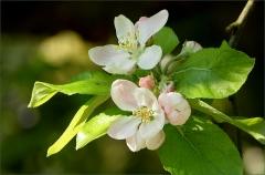 Apfelbaumbl�ten