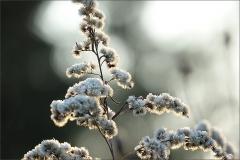 Pflanze mit Raureif