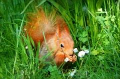 Eichh�rnchen und G�nsebl�mchen