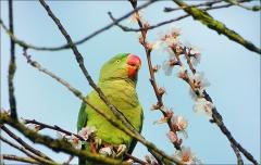 Papagei auf Bl�tenzweig