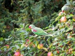 Zwei Papageien im Apfelbaum