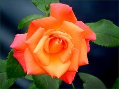 Rose im Juli