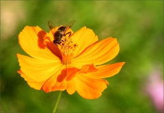 Biene auf einer Bl�te
