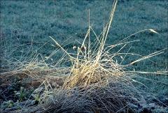 Gräser im Januar