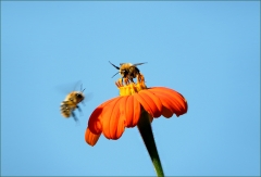 Hummelanflug zu einer Blume