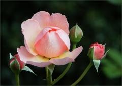 Rose mit drei Knospen
