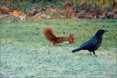 Rabe und Eichhörnchen (5)