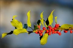 Beeren der Stechpalme