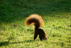 Eichh�rnchen vergr�bt eine Nuss als Wintervorrat