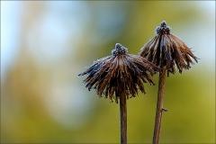Vertrocknete Blüten mit Raureif