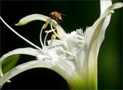 Lilie und Biene