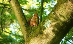 Eichh�rnchen im Baum