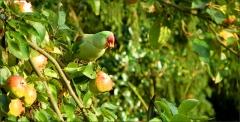Papagei im Apfelbaum