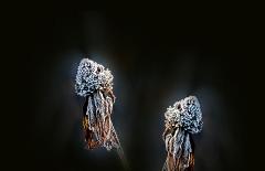 Raureif auf verwelkten Blüten