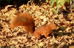 Eichh�rnchen im Herbstlaub