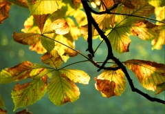Herbstliche Kastanienbl�tter