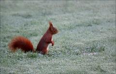 Eichhörnchen im Raureif