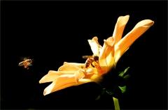 Dahlie und Bienen