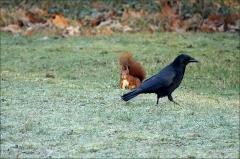 Rabe und Eichhörnchen (4)