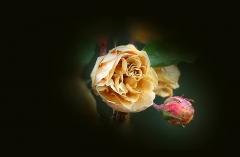 Vertrocknete Rose