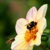 Hummel und Biene