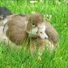 Nilgansk�ken in der Wiese