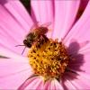 Biene in einer Bl�te