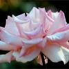 Rose voll erbl�ht