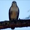 Falke auf einem Ast