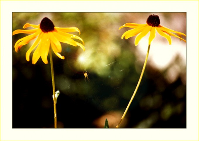 Kleine Spinne zwischen gelben Blüten