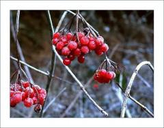 Beeren im Frost