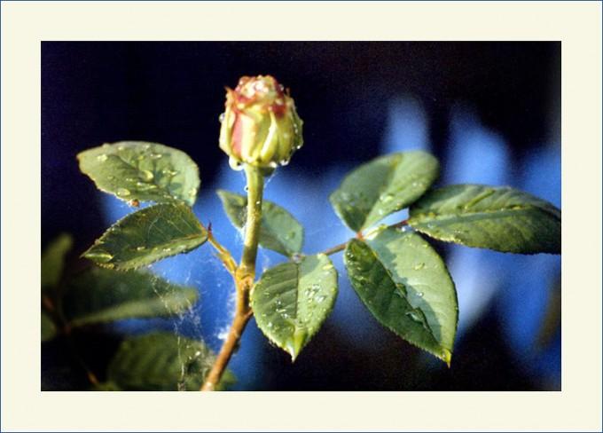 Rose nach dem Regen