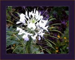 Weiße Blüte mit vielen Blüten