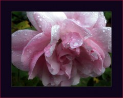 Rosa Rose im Regen