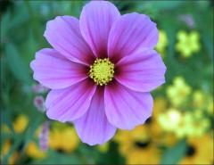Voll entfaltete Blüte