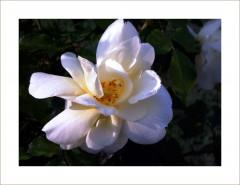 Rose im Morgentau