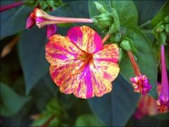 Gesprenkelte Blüte