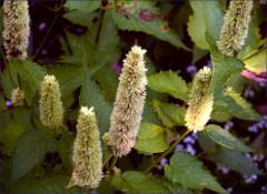 Blütenpelze
