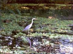 Ein Fischreiher