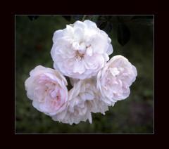 Vier weisse Rosen